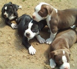 American Pit Bull Terrier Puppies playing