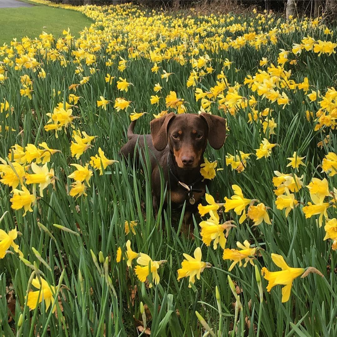 Beautiful Chocolate Dachshund Among A Field Of Daffodils