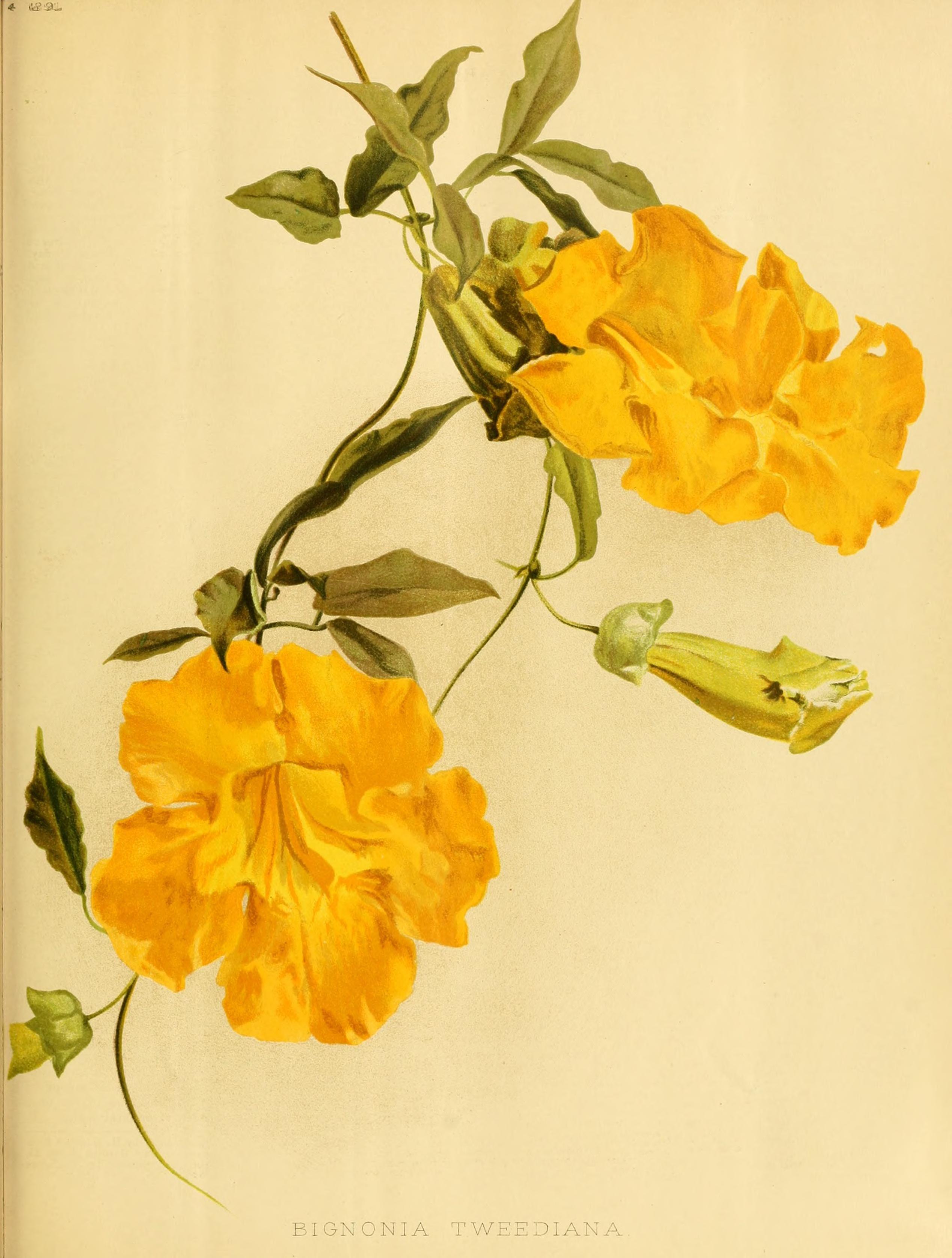 Cats Claw Creeper - Dolichandra unguis-cati - circa 1891 | Vine ...