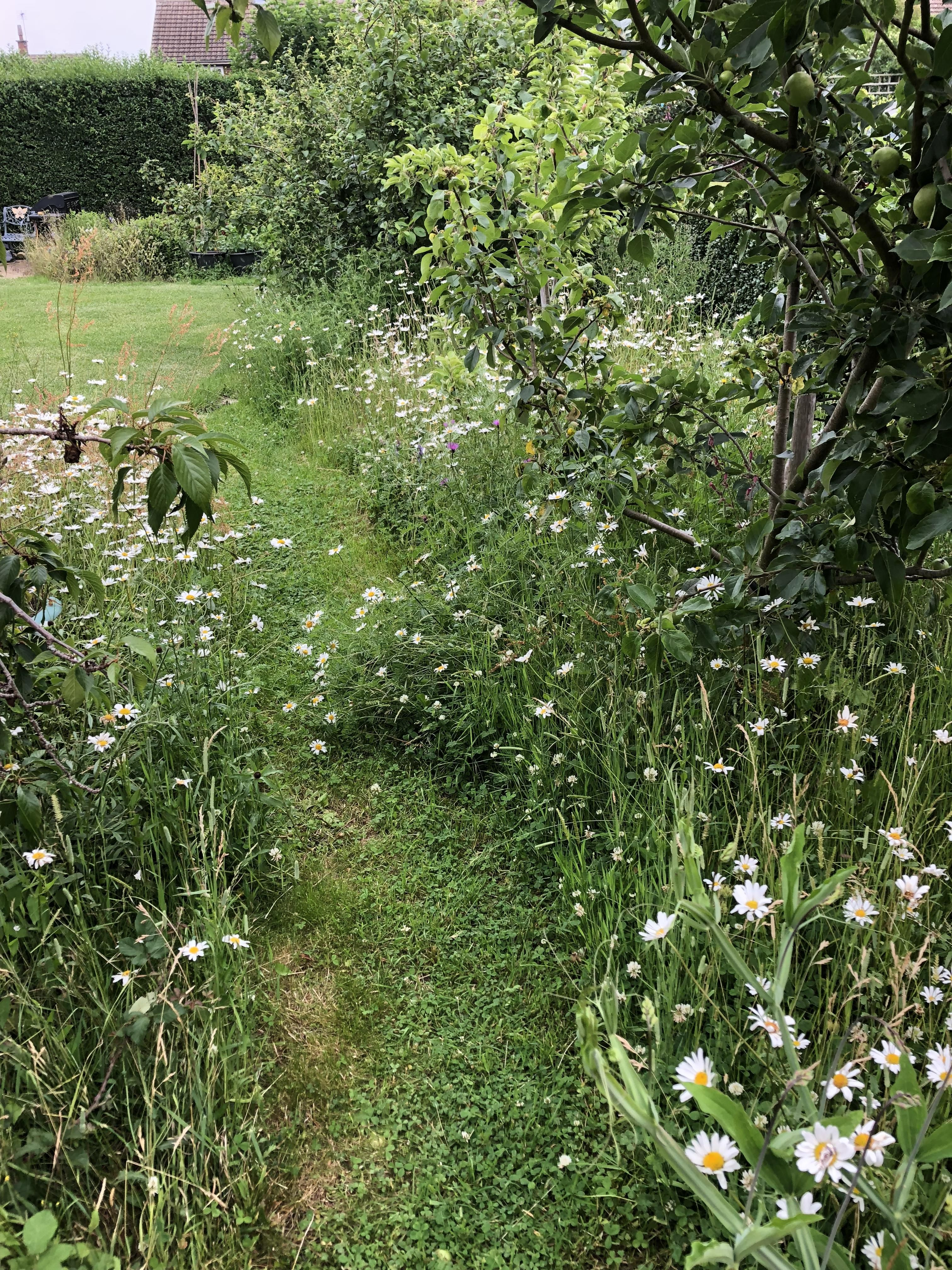 Fifth Summer of our Wildflower Meadow Patch GardenWild