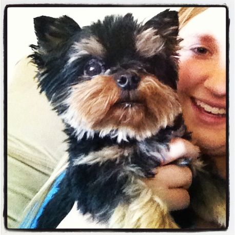 Teacup Yorkie Puppy Named Coco Chanel Yorkie Puppy Teacup Yorkie Puppy Yorkie