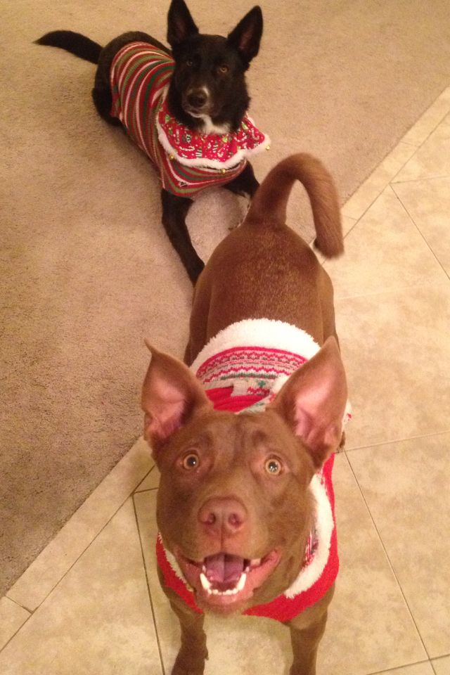 Athena and Sadie, Ugly sweaters? #dog #christmas #ugly sweater My