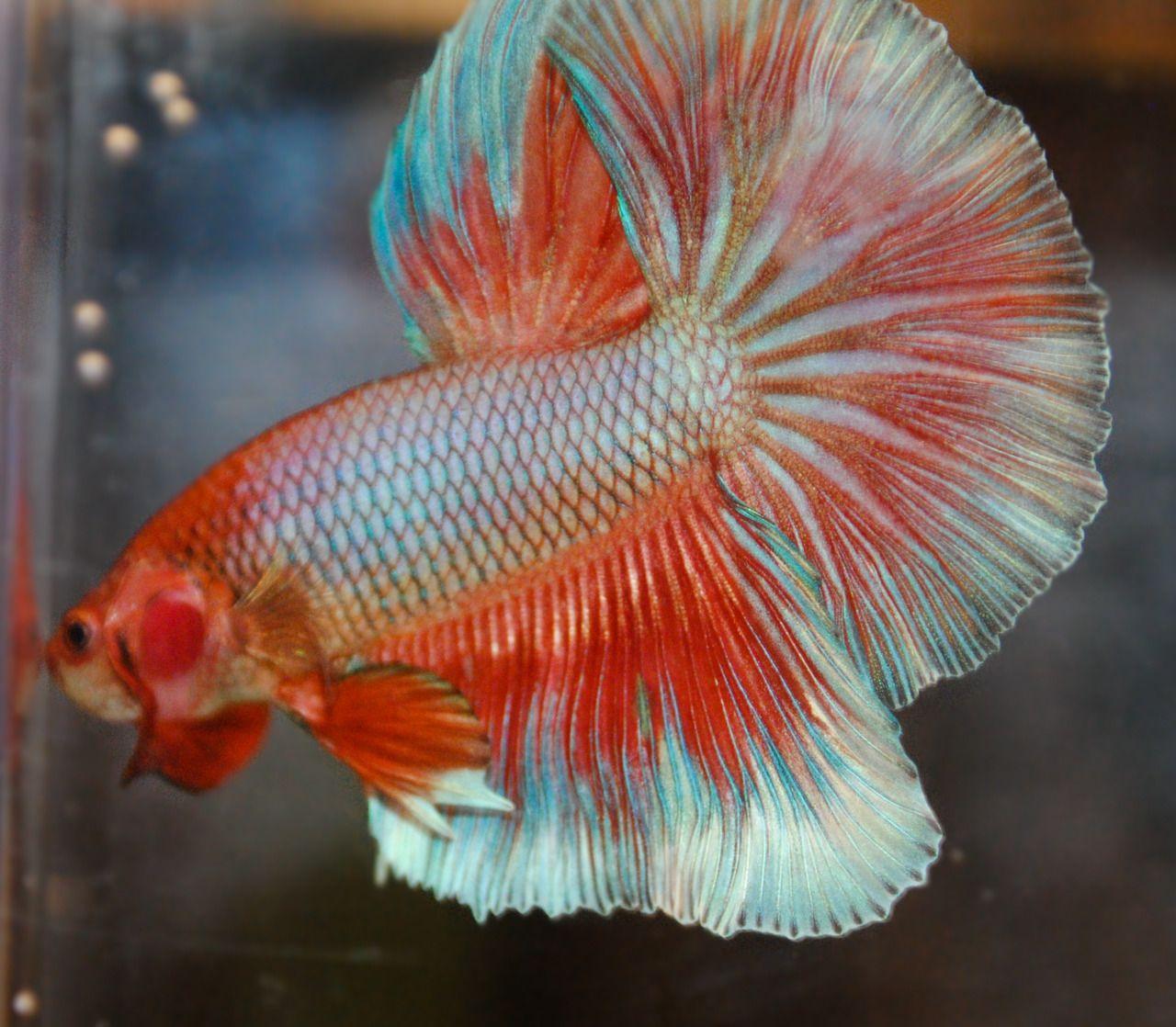 Love this color | Bettas | Pinterest | Betta, Betta fish and Fish tanks