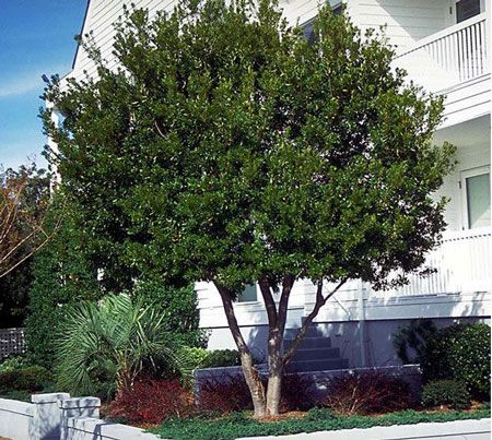Wax Myrtle Tree Shade Trees Fast Growing Trees Myrtle Tree
