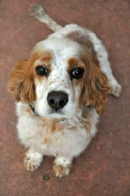 Sadly There S No Happy Ending To Bling S Story Approximately Seven Years Old And A Cocker Spaniel Mix Bling Cocker Spaniel Mix Animal Shelter Dogs