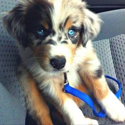 Blue Eyed Australian Shepherd Dog Crossbreeds Mixed Breed
