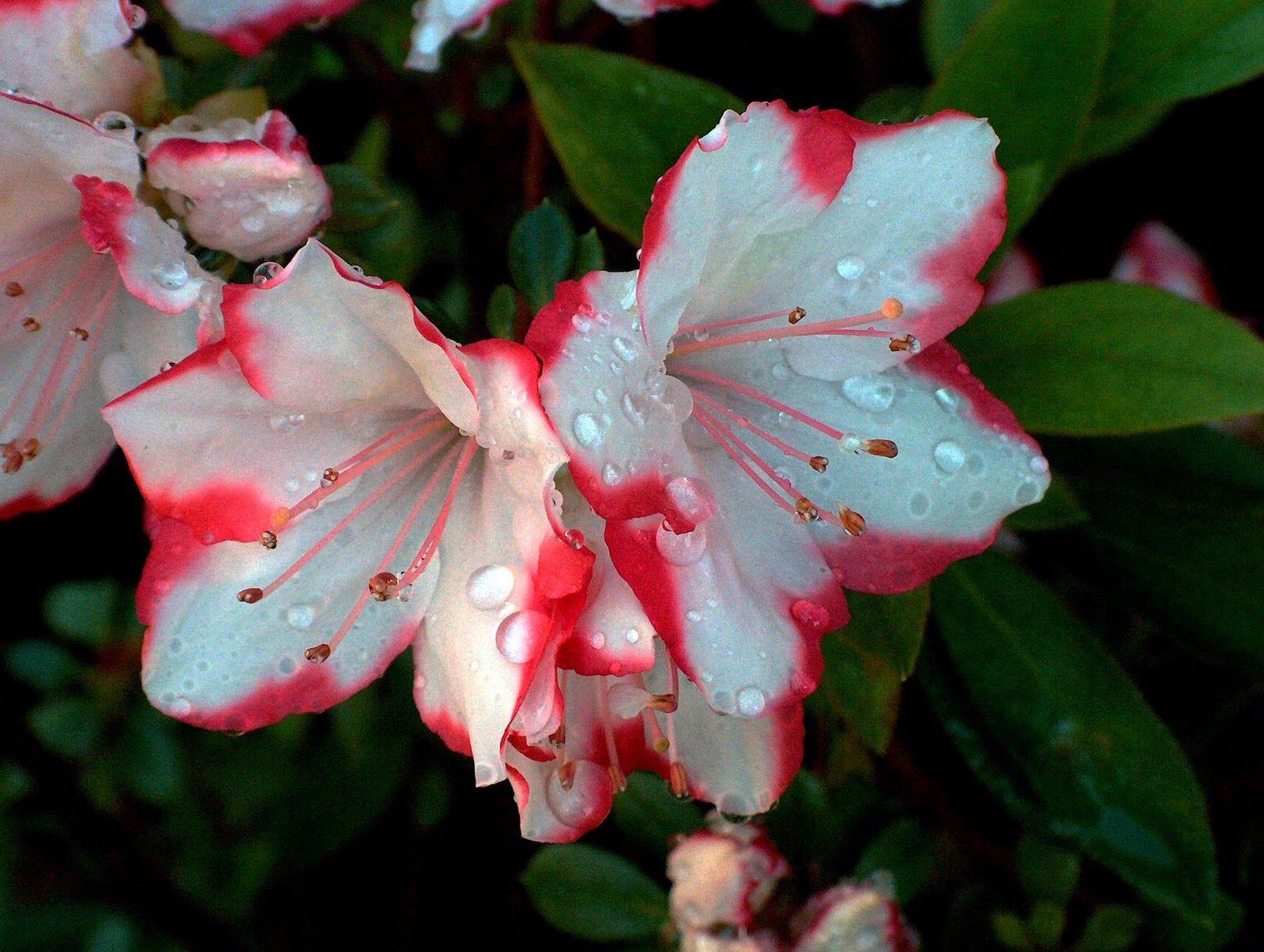 Azalea-color | plantas pequeno porte e sol pleno | Pinterest ...