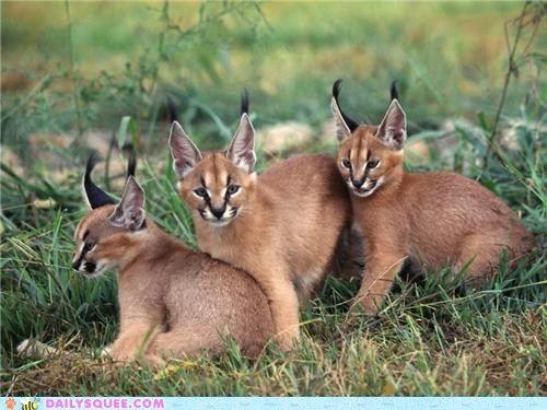 cute animals - Three Little Caracal