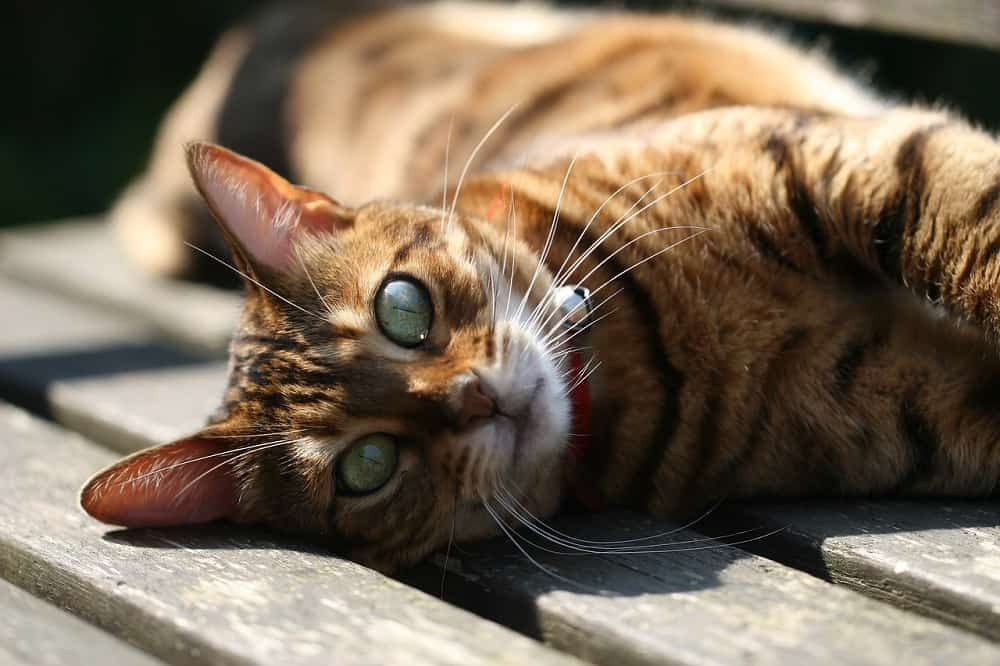 Bengal Cats The Ultimate Guide to their history, types