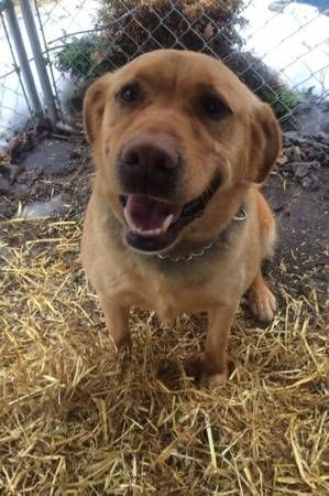 Male Yellow Lab Found Bemidji Found Very Sweet Obedient Male Senior Yellow Lab On Parker S Lake Rd Today No Tags Dogs Yellow Lab Labrador Retriever