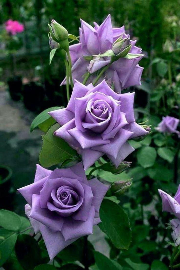 Pin De Klt Em Flowers Is My World Rosas Roxas Belas Rosas Vermelhas Roseiras