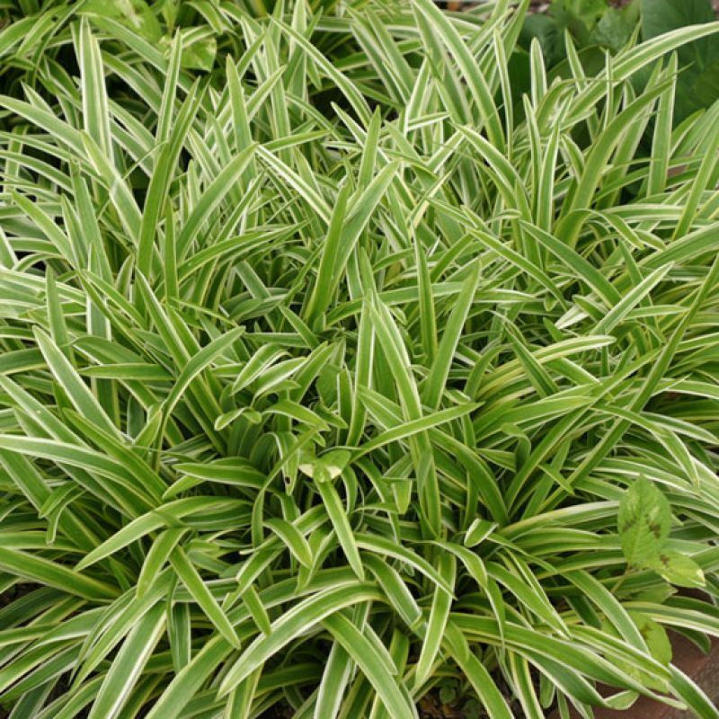 Barba de serpente plantas pinterest decking flowers for Variegated grass plant