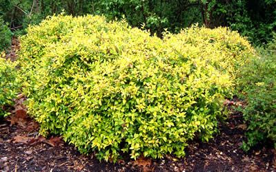 Sun Side Super Gold Dwarf Abelia Abelia Grandiflora Super Gold