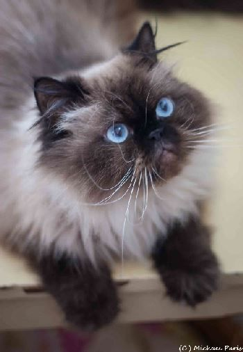 Sita 2 Year Old Female Seal Point Himalayan Sita And Her Adorable Sister Padi Came Into Rescue When Their Owner Pas Fancy Cats Himalayan Cat Himalayan Kitten
