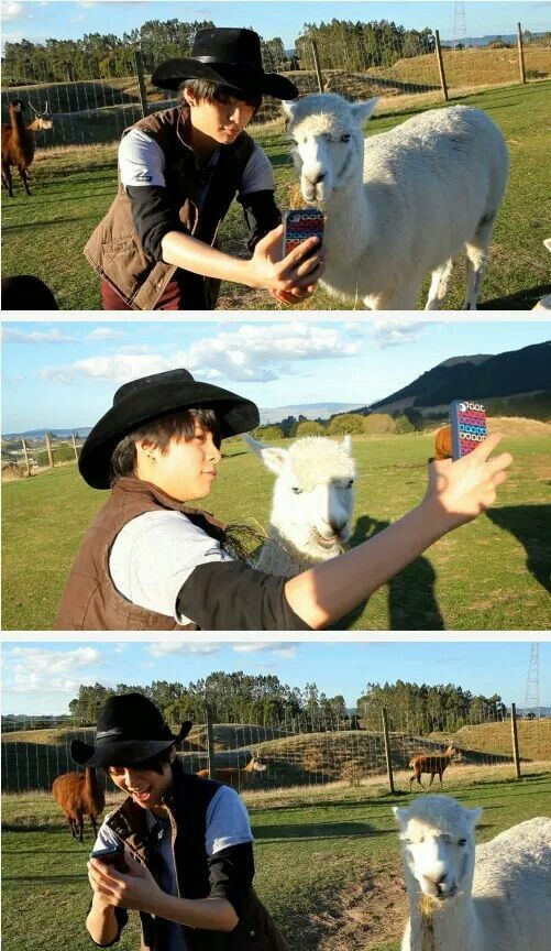 The llamas taking a selfie together