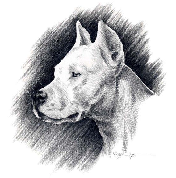 Dogo Argentino Dog Art Print Pencil Drawing By Artist Dj Etsy