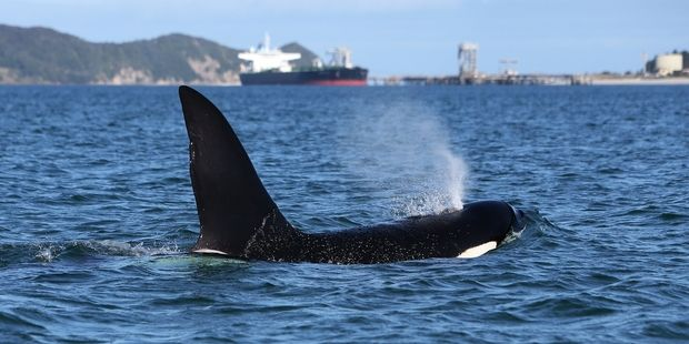 An orca mooches around, oblivious to the industry, shipping and other activites on Whangarei Harbour. Photo/ Michael Cunningham