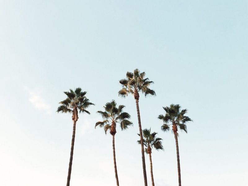 Palm Trees Nick Le Vsco