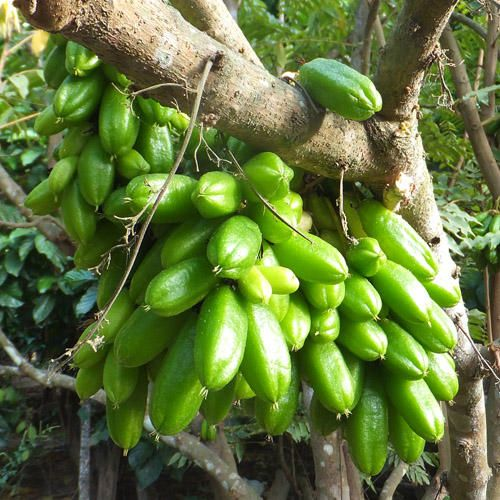 Bilimbi Or Cucumber Tree Called As Kamias In The Philippines