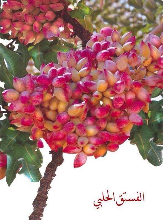 شجرة الفستق الاخضر pistachio trees are very famous in Syria ...