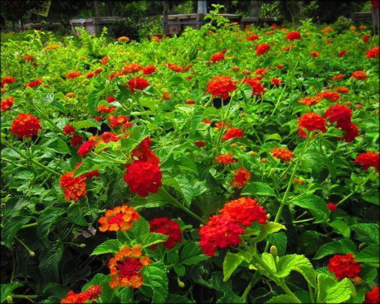 Lantana For Sale Arizona S Best Shrubs Lantana Red Flowering Bush Plants