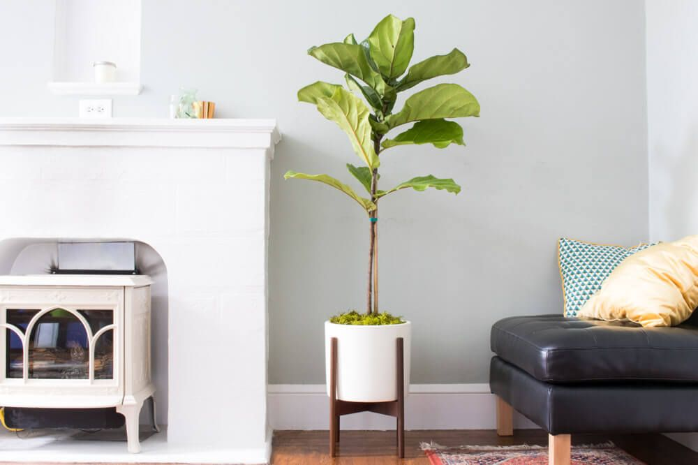 Junior Fiddle Leaf Fig Tree