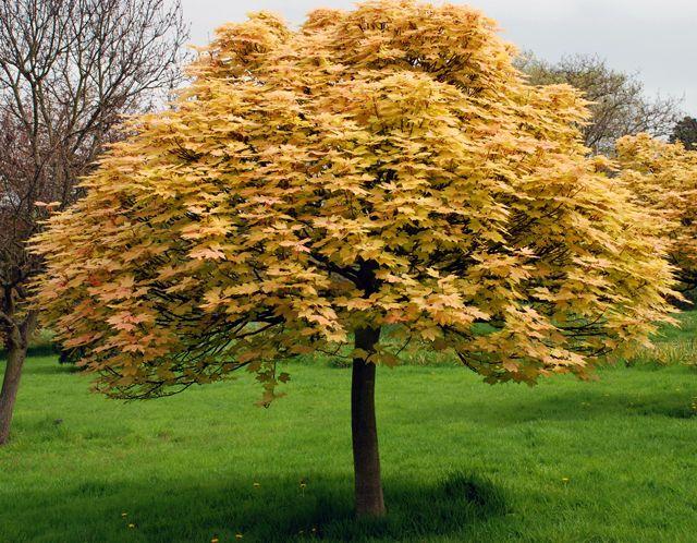 Acer pseudoplatanus 'Brilliantissimum'. Klon jawor ...