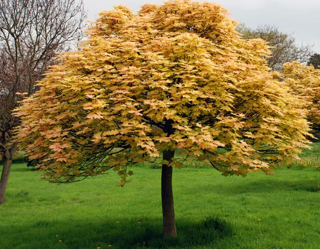 Acer pseudoplatanus 39 brilliantissimum 39 klon jawor for Maple trees for small gardens