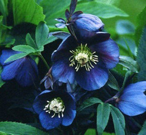 christrose lenzrose metallic blue helleborus orientalis garten helleborus. Black Bedroom Furniture Sets. Home Design Ideas