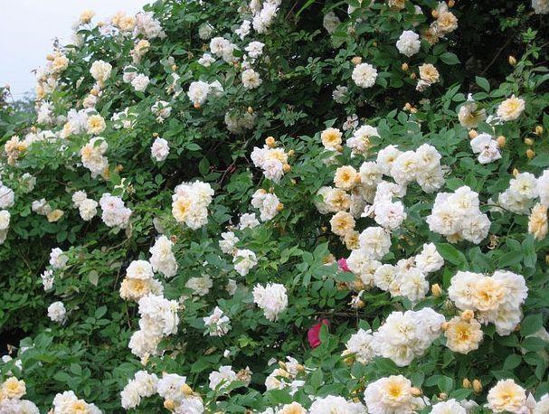 alister stella gray climbing rose   rosa alister stella gray ...