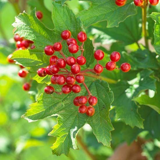 19 Berry Producing Plants That Will Attract Birds To Your Yard Berry Plants How To Attract Birds Plants