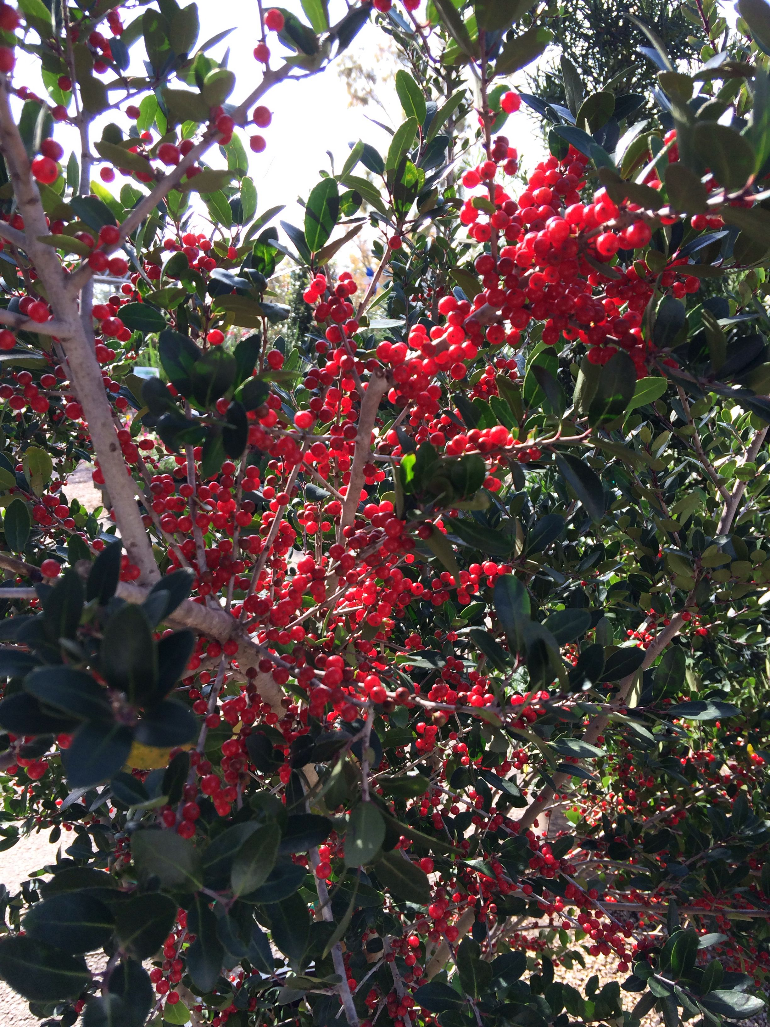 Yaupon Holly Pride Of Houston Landscaping Plants Texas