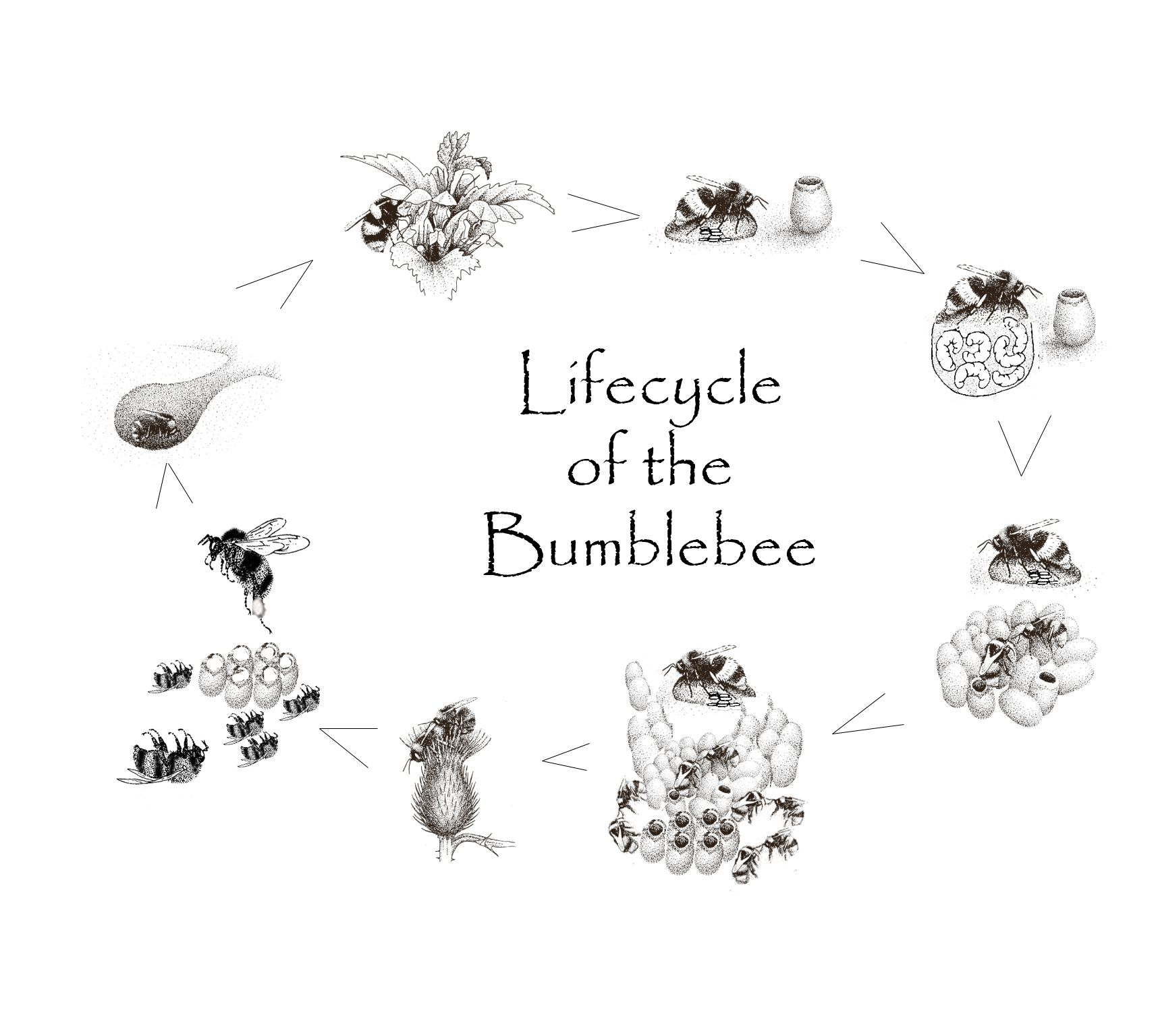 Bumblebee Lifecycle