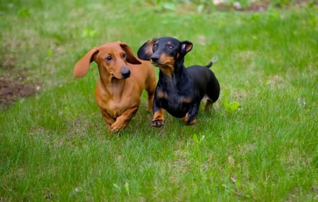 Black And Brown Dachshund Dog Are Dog Breeds Dachshund Breed Dachshund Dog