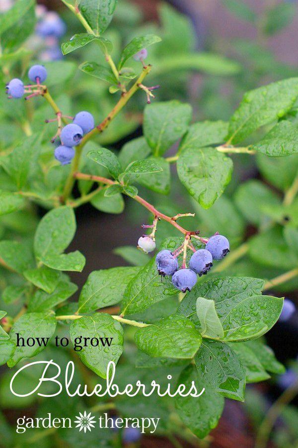 Natureu0027s Candy: Growing + Eating Blueberries