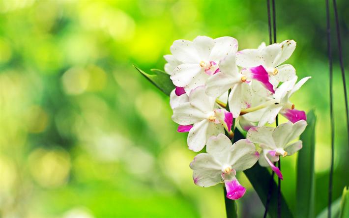 Herunterladen hintergrundbild weiße orchideen, tropische blumen ...