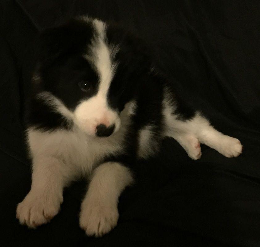 Black and white Border Collie puppy. Border collie