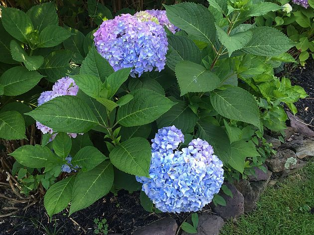 Big Leaf Hydrangeas Bloom On Old And New Wood So You Need To Protect The Next Season S Flower Buds That Form In T Big Leaf Hydrangea Hydrangea Bloom Big Leaves