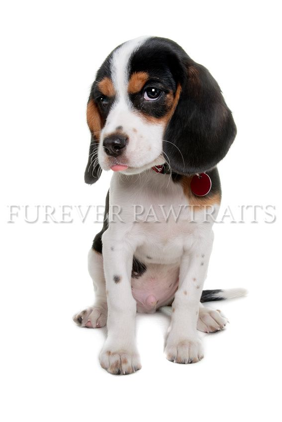 Chisel Is A 13 Week Old Beaglier Perth Pet Photographer Furever