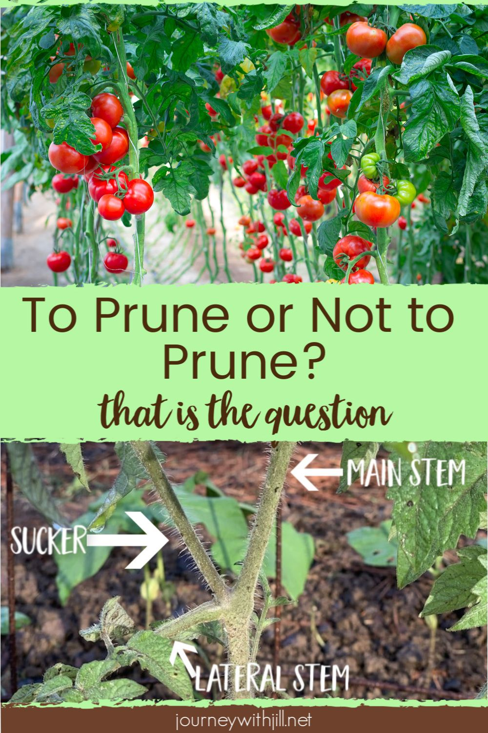 Growing tomatoes in your garden You want to harvest the most yield possible from your crop  so does that mean you have to start pruning your tomatoes Whether you grow in...