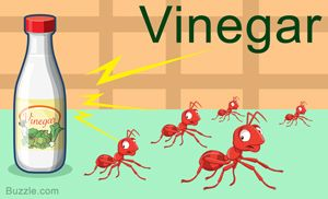 Home Remedies To Get Rid Of Ants Vinegar Rid Of Ants