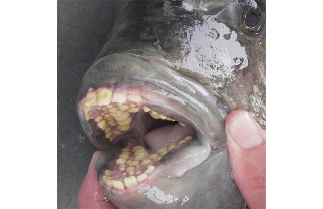 Ever Seen The Inside Of A Sheepshead Fish S Mouth Well Here Ya Go It S Teeth It S Human Teeth Weird Animals Fish Teeth Fish