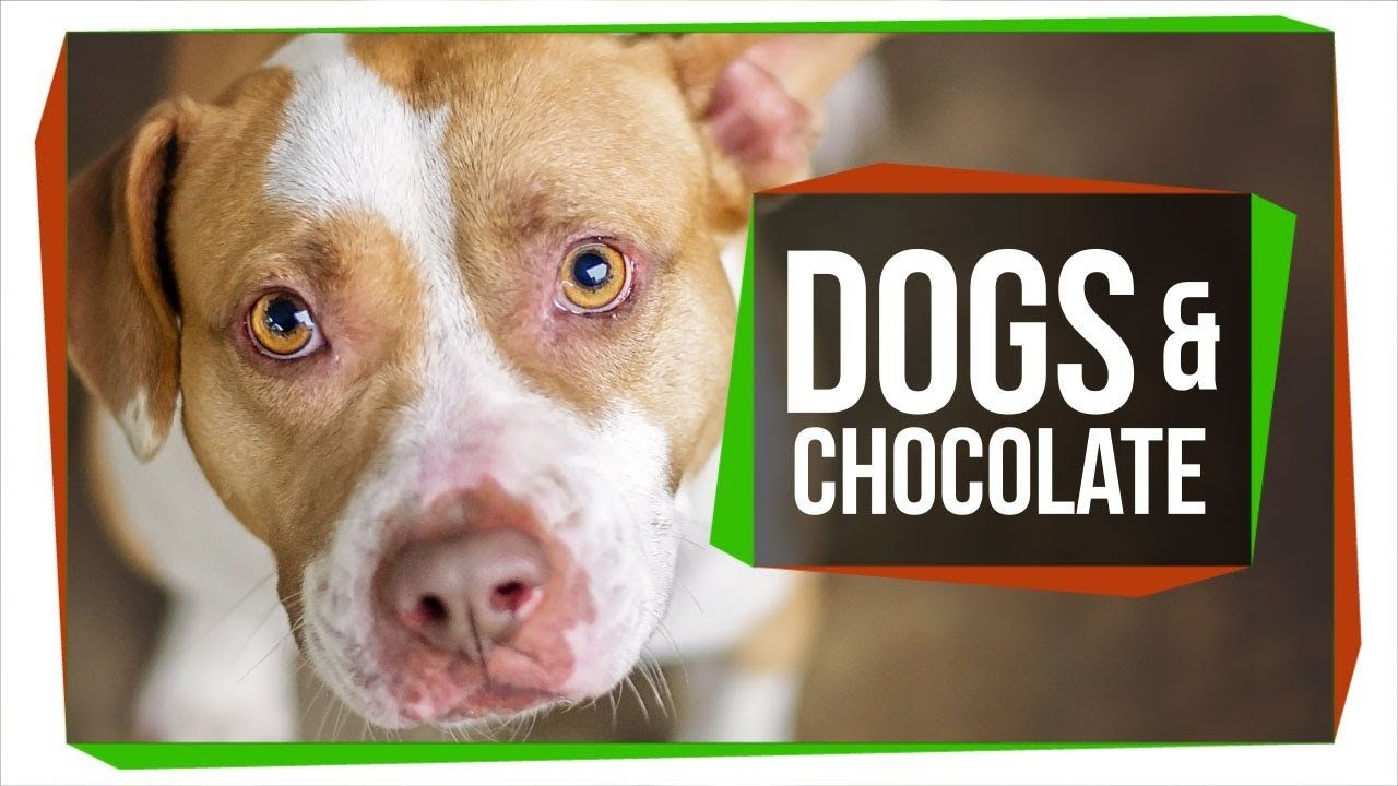 Why Can T Dogs Eat Chocolates Dog Ate Chocolate Can Dogs Eat