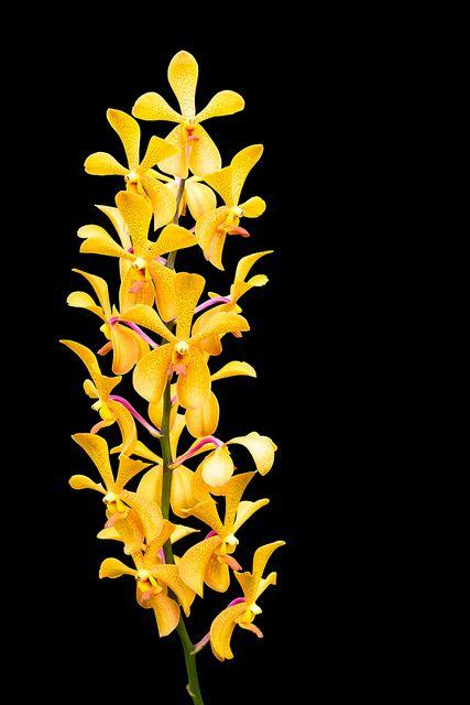 Yellow orchid flower pinterest yellow orchid orchid and flower yellow orchid flowerllow newgen teachers at httpteacherspayteachersstorenewgen teachers mightylinksfo