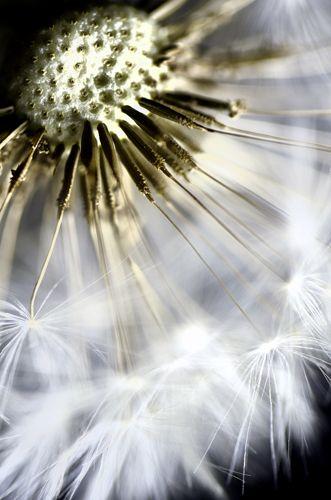Fun With Dandelions Dandelion Dandelion Seed Amazing Nature