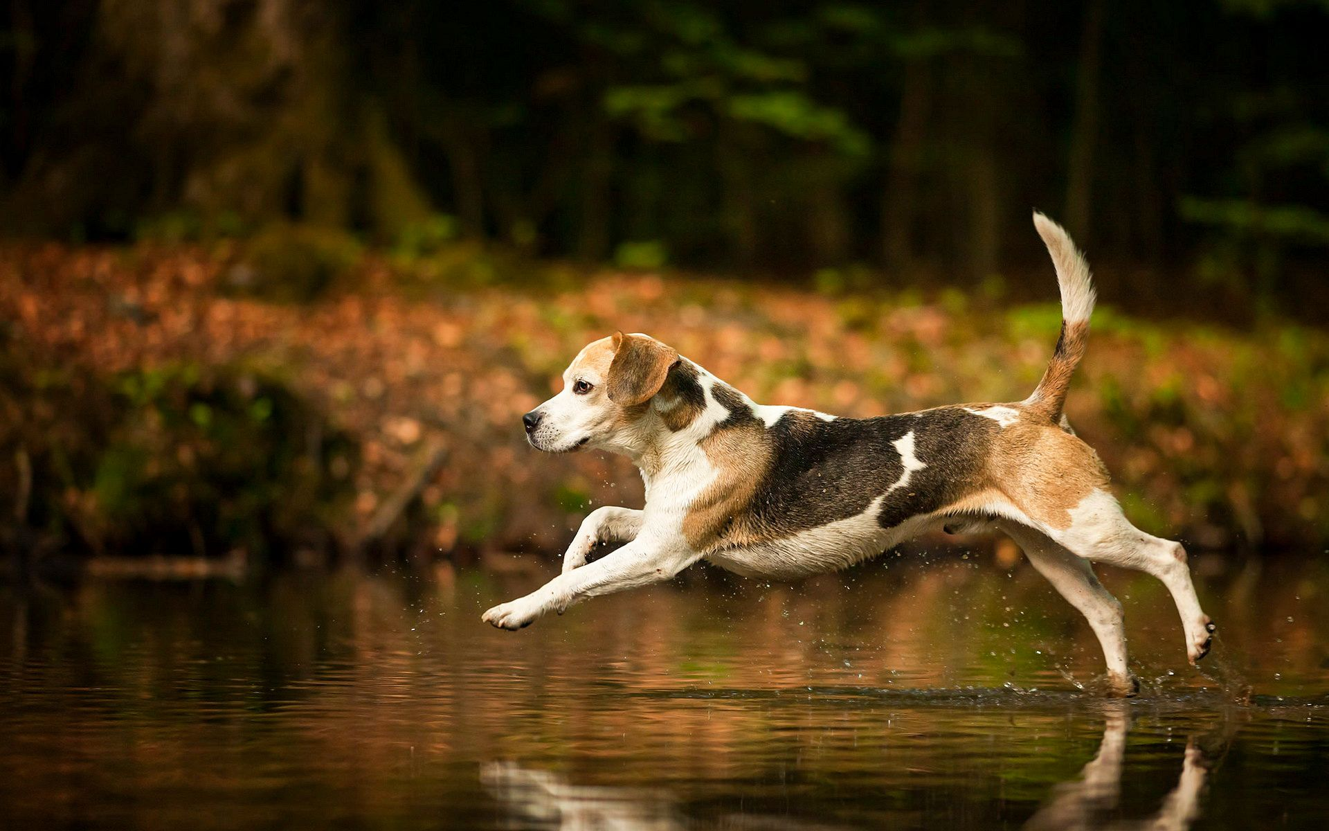 Beagle wallpapers HD Beagle puppy, Cute beagles, Beagle dog