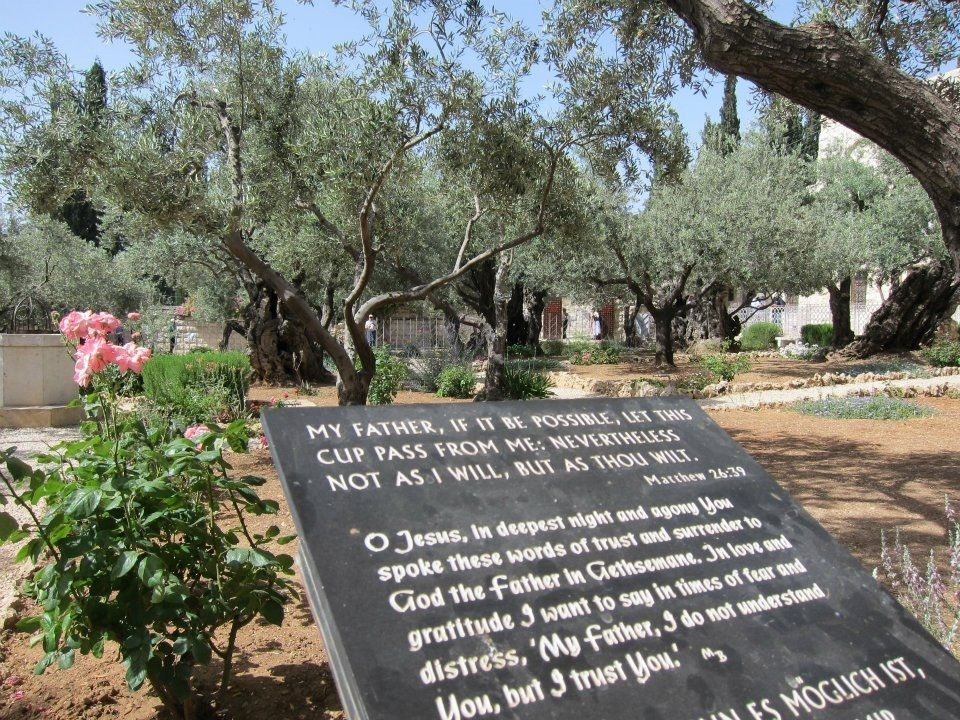 Olive trees jesus prayed at random musings from a doctor for Age olive trees garden gethsemane