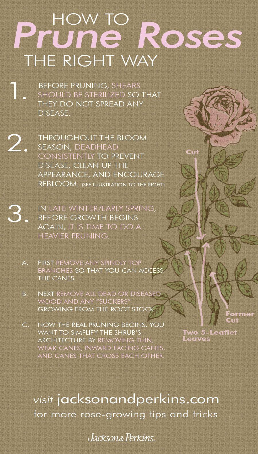 jp-gardening-tips | Pinterest | Rose bush, Rose and Gardens