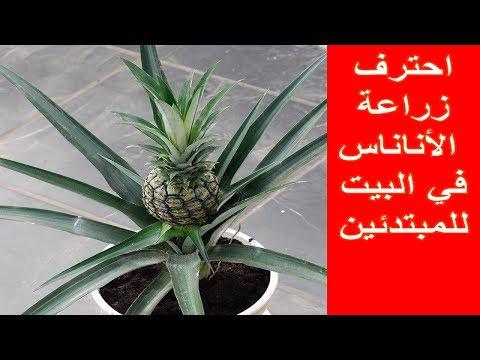 58 احترف الزراعة بأشياء بسيطة طريقة زراعة الأناناس في البيت How To Plant Pineapple At Home Youtube Pineapple Fruit