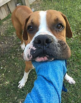 Pictures Of Rommell A Boxer American Bulldog Mix For Adoption In